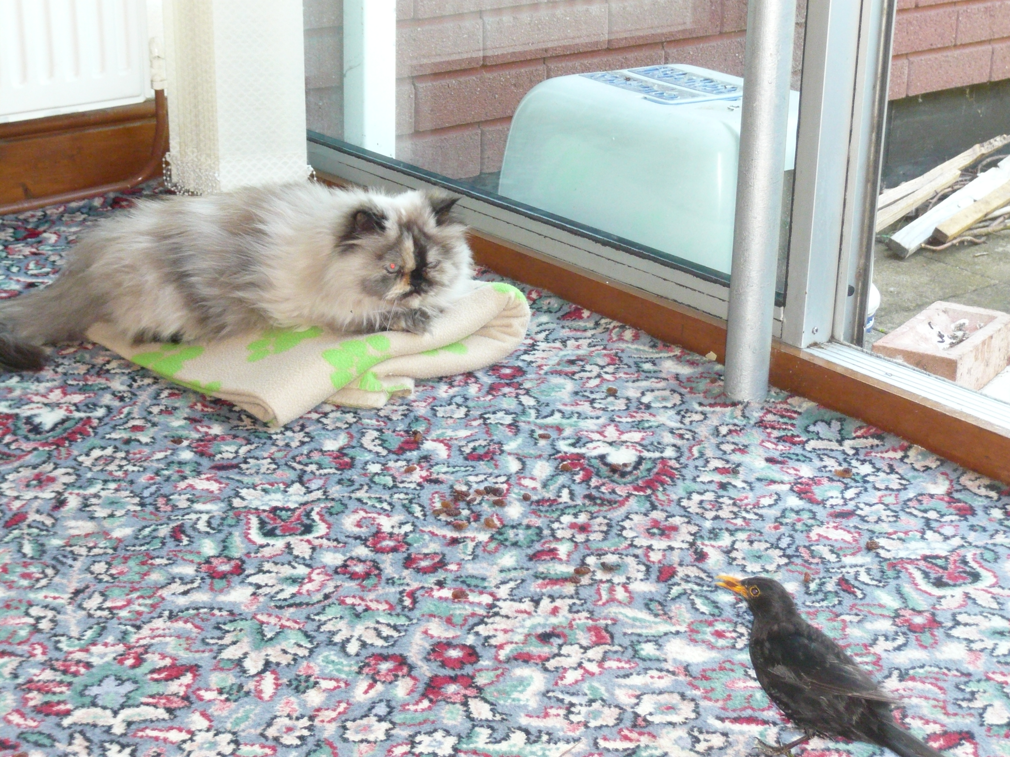 Dumpty and a tame blackbird on the carpet